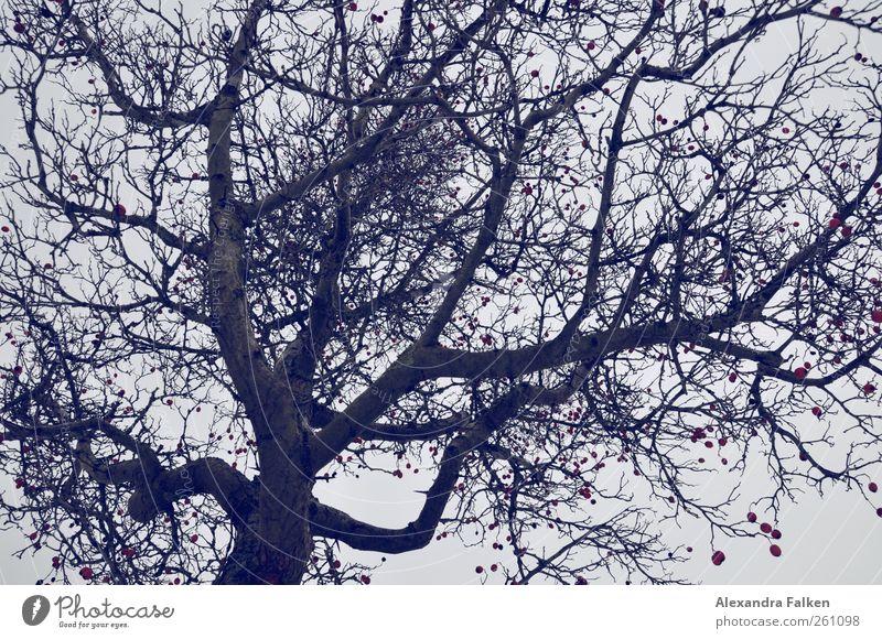 Baum. Umwelt Natur Pflanze Herbst Winter Baumkrone natürlich Beeren Ast Märchen Märchenwald dunkel Fantasygeschichte Kornelkirsche Kirsche Baumstamm
