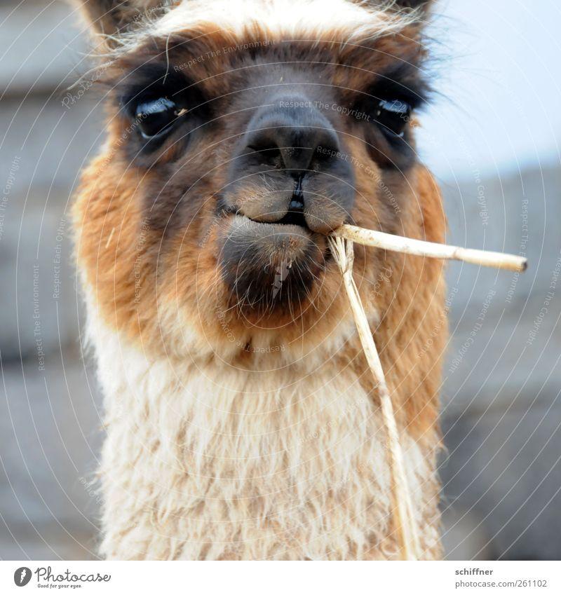Theo Waigel Tier Haustier Nutztier Tiergesicht Fell 1 Fressen kauen Blick Auge Augenbraue Wachsamkeit Wiederkäuer Lama Fellfarbe beige braun schwarz Stroh