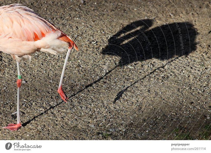 verfolgungswahn Sommer Park Seeufer Teich Tier Wildtier Vogel Flamingo Flügel Krallen Pfote Fährte Zoo 1 Stein beobachten Bewegung gehen verfolgen Schatten