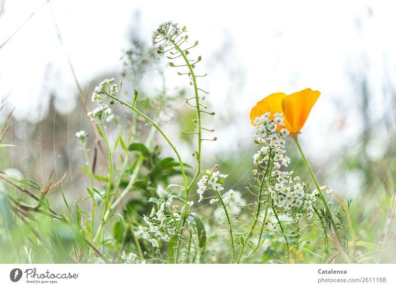 Silberkraut Natur Pflanze schön Blume Blatt Herbst Umwelt Blüte Wiese Gras Garten Horizont Wachstum Fröhlichkeit Blühend Mohn