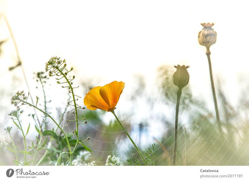 Mohn und Ackerhellerkraut Natur Pflanze Himmel Herbst Blume Gras Sträucher Blatt Blüte Mohnkapsel Wiese Feld Blühend Duft verblüht Wachstum schön braun gelb