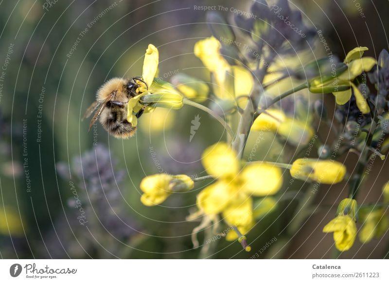 Eine Hummel Natur Pflanze schön grün Tier Blatt Leben Herbst gelb Blüte braun fliegen wild Wildtier violett Insekt