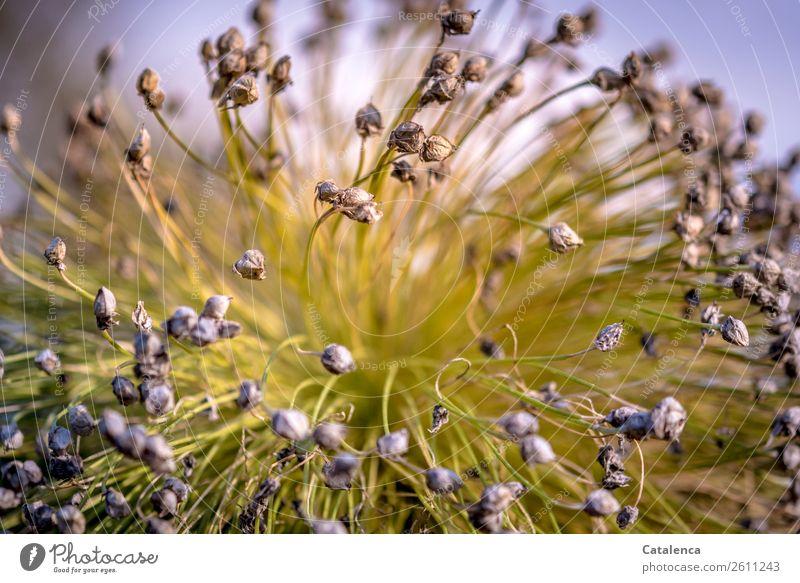 Lauchblüte am Abend Natur Pflanze Himmel Herbst Blüte Porree Lauchstange Lauchgemüse Garten Gemüsegarten verblüht dehydrieren natürlich braun grau grün violett