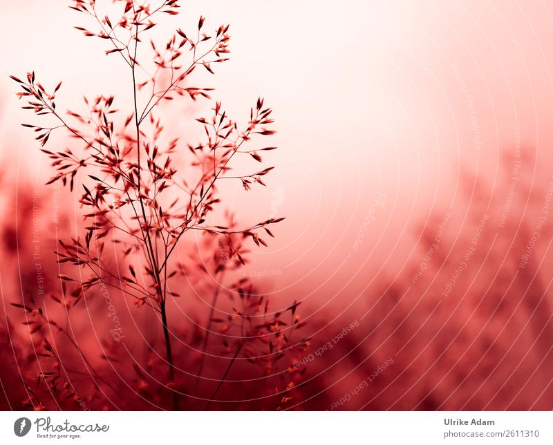 Grasspiel Natur Sommer Pflanze rot Erholung ruhig Winter Herbst Innenarchitektur Blüte Stil Feste & Feiern Design Zufriedenheit Dekoration & Verzierung