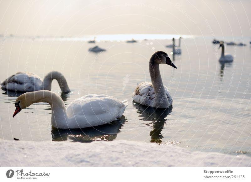 Swan lake. Umwelt Natur Landschaft Tier Himmel Horizont Sonne Winter Schönes Wetter Eis Frost Schnee Wellen Seeufer Schwan Flügel Schwarm Tierjunges Tierfamilie