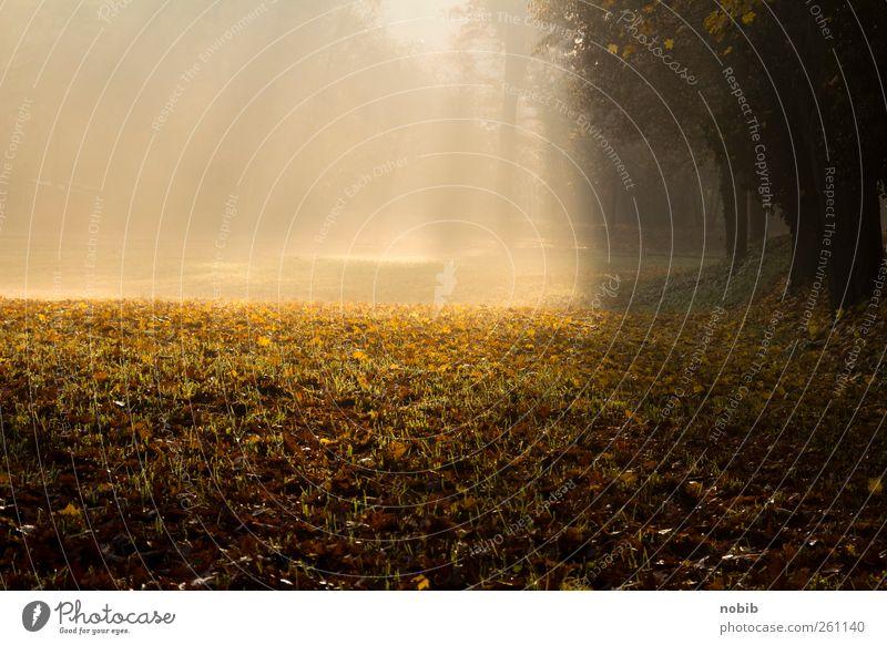 shining Natur Landschaft Pflanze Erde Sonne Herbst Nebel Baum Blatt Wiese Flußniederung Wege & Pfade Holz braun gelb gold schwarz Gefühle Euphorie