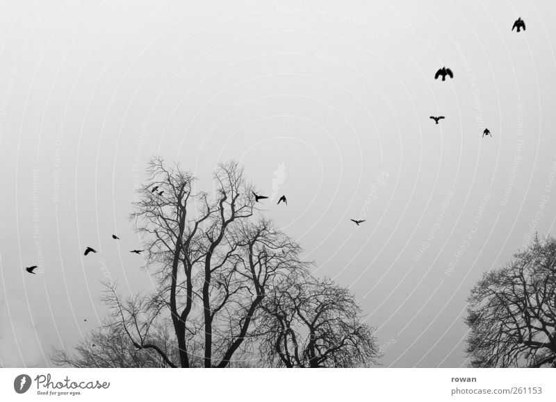 Nebelflug Baum Vogel Schwarm fliegen bedrohlich dunkel gruselig kalt trist Traurigkeit Rabenvögel Vogelflug Ast Geäst grau Schwarzweißfoto Außenaufnahme