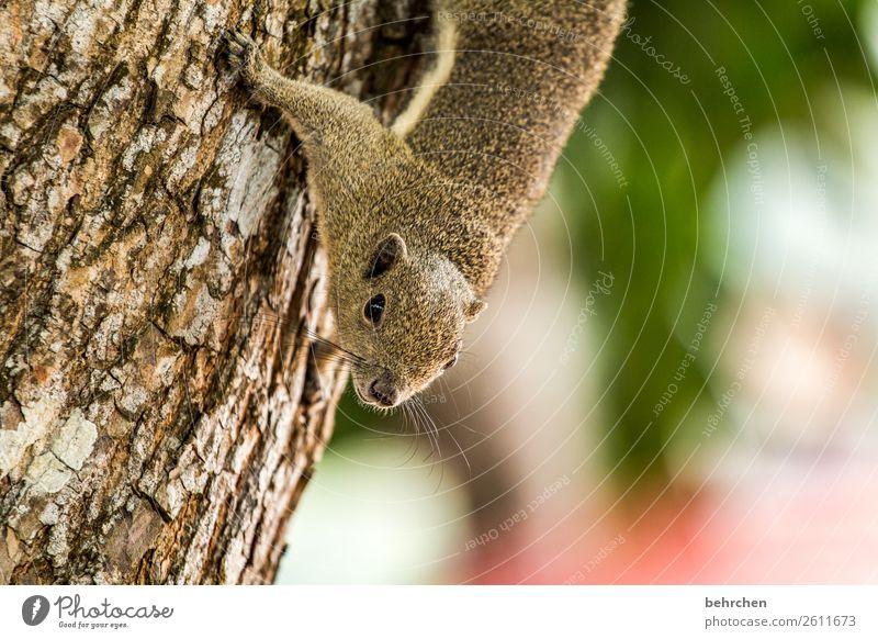 hörnchen zum frühstück Ferien & Urlaub & Reisen Tourismus Ausflug Abenteuer Ferne Freiheit Urwald Wildtier Tiergesicht Fell Eichhörnchen außergewöhnlich