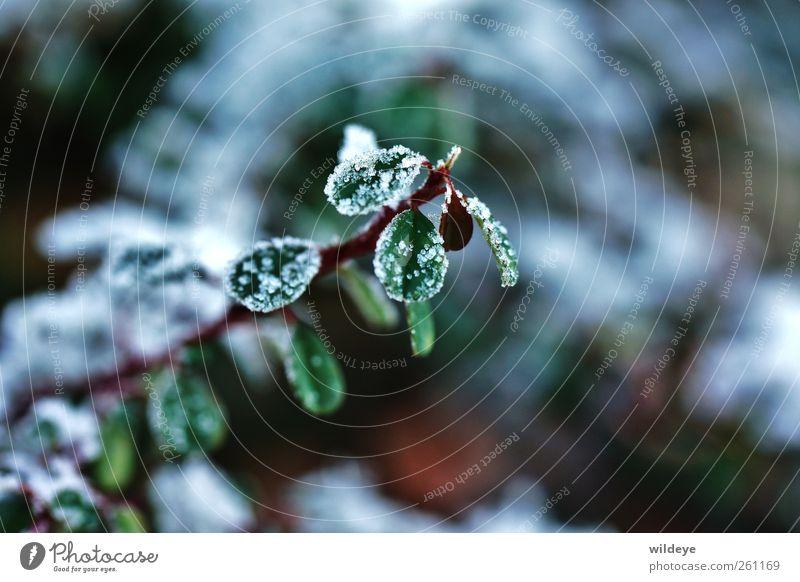 Überzuckert Natur schön grün weiß Pflanze rot Blatt Winter kalt klein außergewöhnlich Garten träumen Schneefall glänzend Idylle