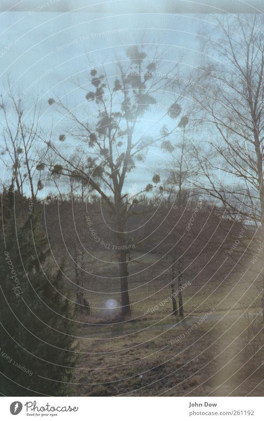 Mistelernte Baum Pflanze Wald Wiese Gras hell Feld Wachstum Sträucher Schönes Wetter Küssen entdecken analog Doppelbelichtung Tradition Botanik