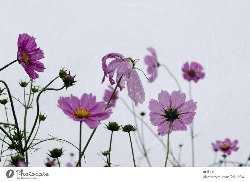 Himmel Natur Wasser Pflanze Sommer Blume Farbe Wolken Einsamkeit gelb Herbst Garten Blüte Regen rosa nass