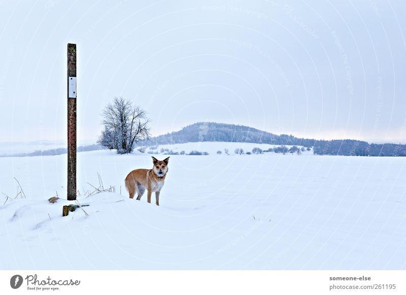 Schneegestöber Winter Winterurlaub Berge u. Gebirge wandern Landschaft Feld Hügel Schneebedeckte Gipfel Hund 1 Tier kalt weiß Wachsamkeit geduldig Einsamkeit