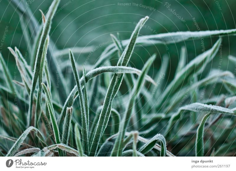 Blick ins Gras Umwelt Natur Pflanze Winter Klima Wetter Eis Frost Blatt Grünpflanze Wildpflanze Garten Wiese Raureif gefroren kalt grün Jahreszeiten überwintern