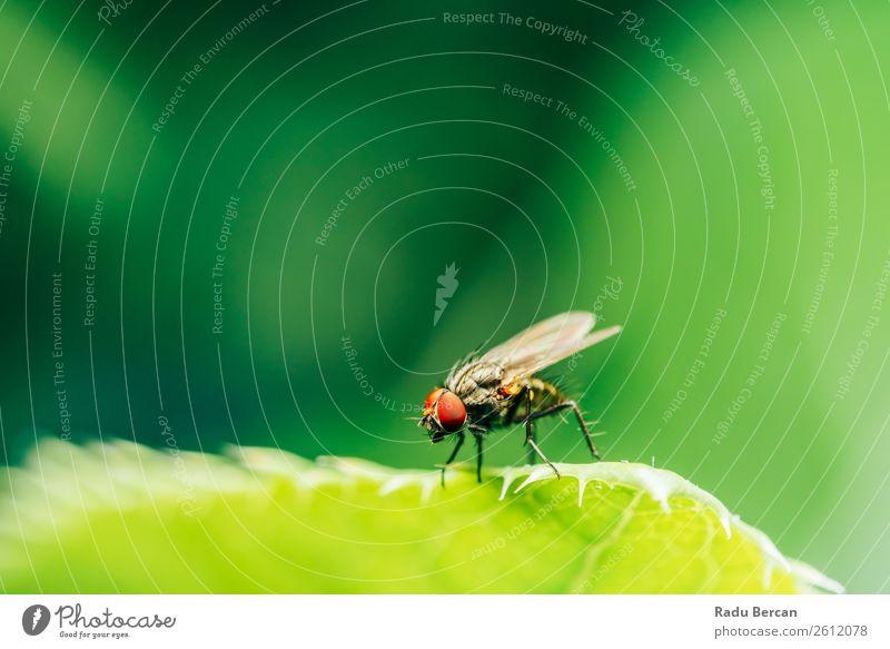 Stubenfliege auf einem Blatt im Garten Sommer Haus Umwelt Natur Pflanze Tier Schönes Wetter Gras Park Wald Wildtier Fliege Tiergesicht 1 klein natürlich schön