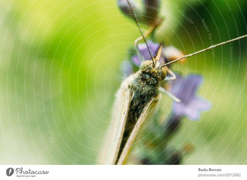 Weißer Schmetterling Nahaufnahme Makro im Garten schön Sommer Umwelt Natur Pflanze Tier Gras Blatt Blüte Wildpflanze Park Wald Wildtier Tiergesicht Flügel 1