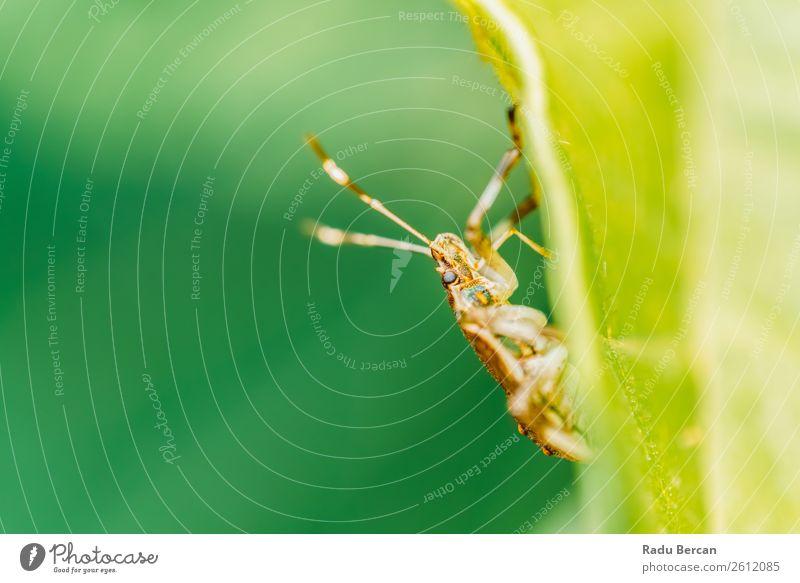 Schild Käfer Makro im Garten Sommer Umwelt Natur Pflanze Tier Blatt Park Wald Wildtier Tiergesicht 1 gruselig klein natürlich wild braun grün Farbe Wanze Insekt