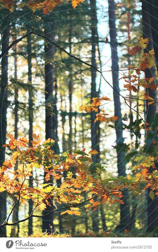 Oktoberwald Umwelt Natur Landschaft Herbst Schönes Wetter Pflanze Baum Blatt Eichenblatt Herbstlaub Wald Herbstwald schön grün orange ruhig Herbstgefühle