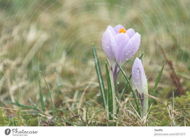 Frühlingsboten Natur Pflanze schön Blüte Wiese natürlich frisch Beginn Blühend Romantik violett neu Blütenknospen Vorfreude Blütenblatt