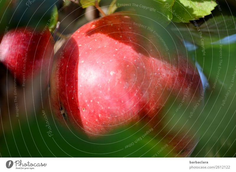 Verschämter Apfel mit Wurmloch Frucht Natur Pflanze Herbst Klima Blatt Apfelbaum Garten leuchten frisch lecker natürlich rot Gesundheitswesen Umwelt Farbfoto