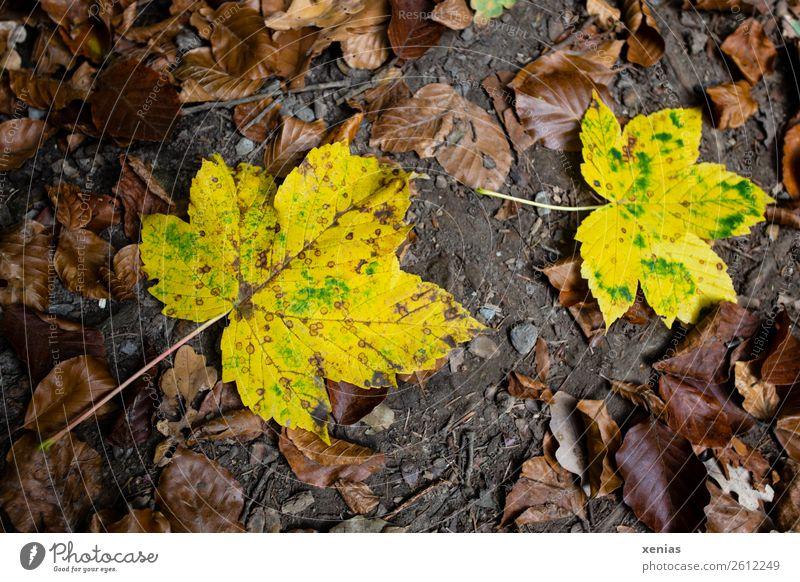 Zwei gelbe Herbstblätter Blatt Ahornblatt braun Boden welk Herbstlaub Herbstzeit Jahreszeiten Farbfoto Außenaufnahme Menschenleer