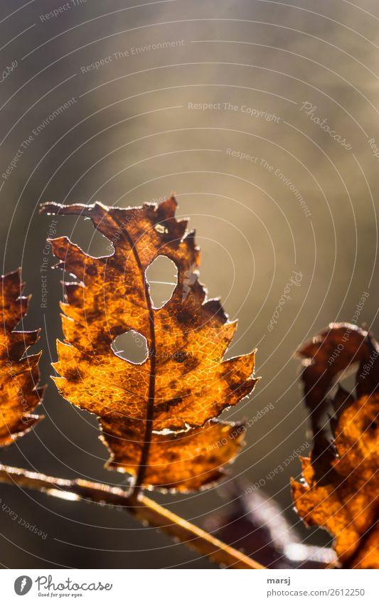 vergittert Natur Herbst Pflanze Blatt Wildpflanze glänzend leuchten authentisch außergewöhnlich dünn elegant einzigartig braun Traurigkeit Trauer Tod Ende