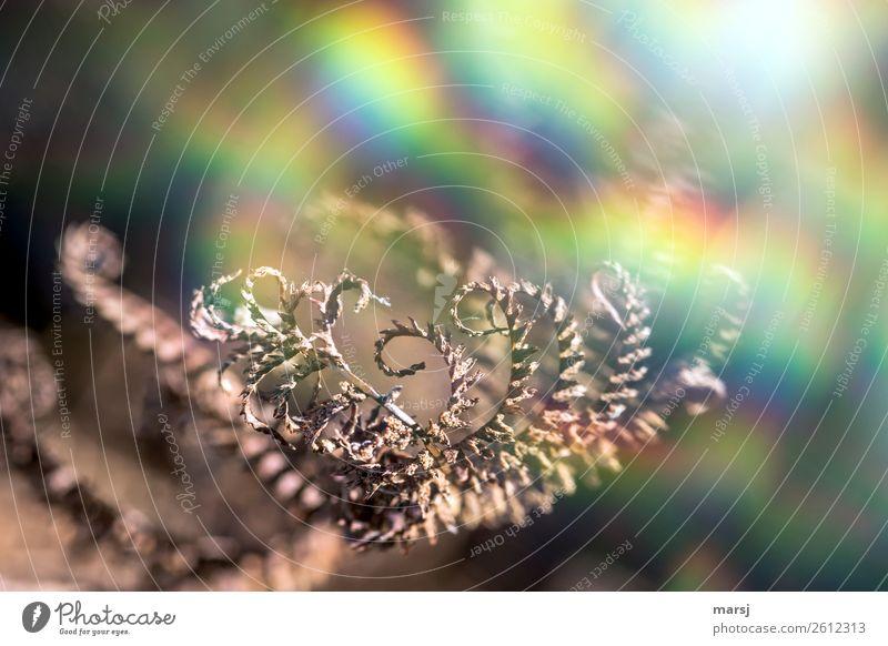Farben im Herbst Natur Pflanze Farn Wildpflanze alt leuchten gruselig trendy natürlich trashig mehrfarbig träumen regenbogenfarben Spirale Farbfoto