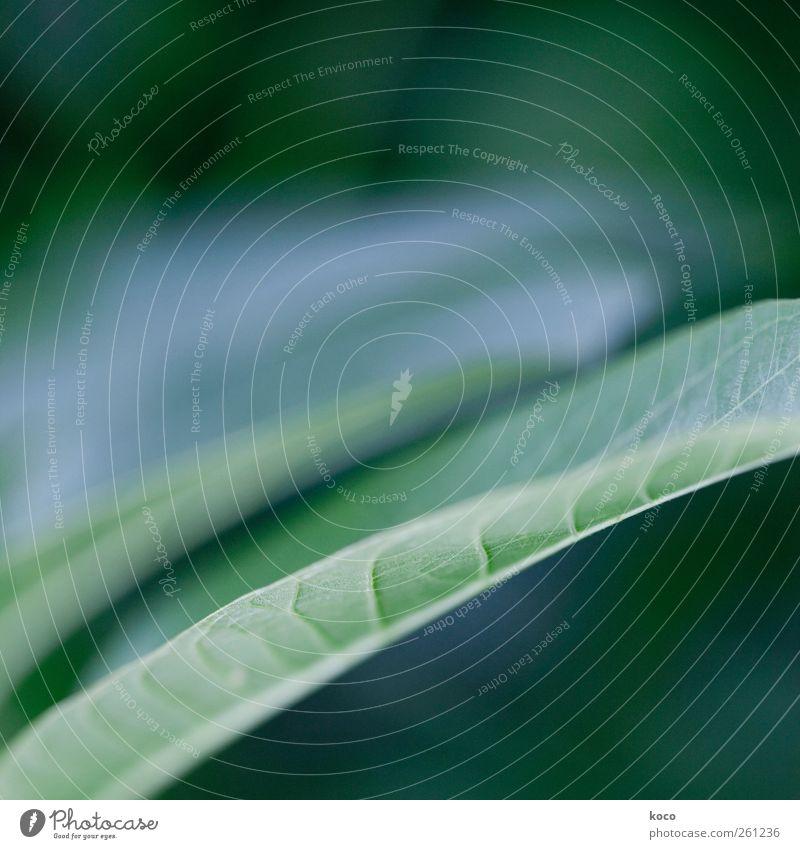 blattonisch Umwelt Natur Pflanze Frühling Sommer Blatt Grünpflanze Linie Wachstum ästhetisch einfach schön grün weiß authentisch Netzwerk Farbfoto Außenaufnahme