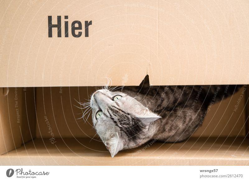 Hier   Kater im Karton Tier Haustier Katze 1 lustig braun grau Hauskatze tierisch Farbfoto Gedeckte Farben Innenaufnahme Menschenleer Textfreiraum rechts