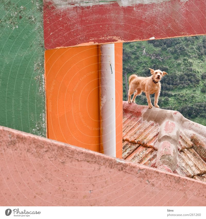 Hoheitsgebiet Hund Tier Haus Wand Mauer Gebäude Fassade Dach Schutz Leidenschaft Mut Wachsamkeit Kontrolle Haustier achtsam Fallrohr