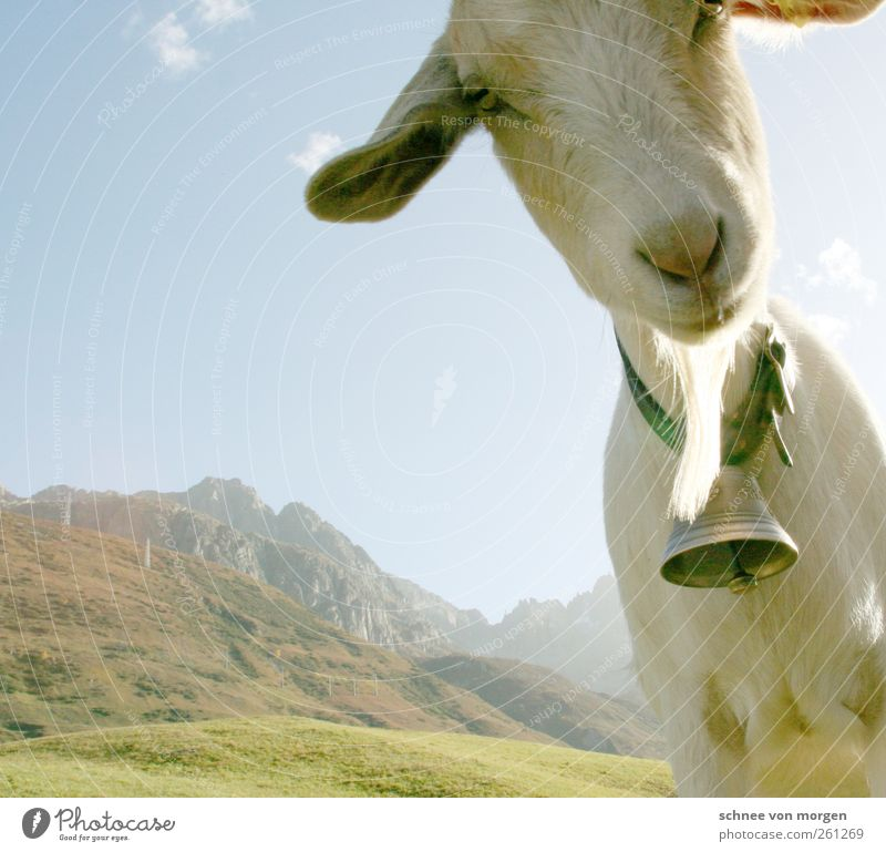 ehrlich Tier lustig Nutztier Ziegen