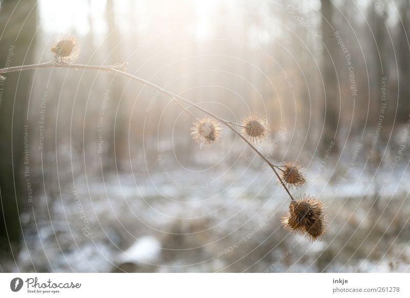 Morgens in der Kälte Umwelt Natur Sonnenlicht Winter Klima Schönes Wetter Schnee Pflanze Sträucher Distel Samen Baum Baumstamm Ast Zweig Park Wald Menschenleer