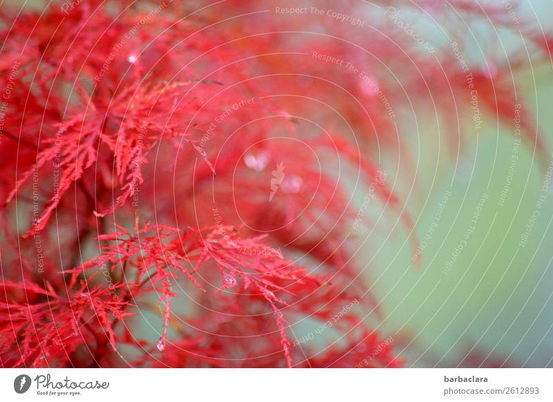 Japanischer Zierahorn Pflanze Wassertropfen Sonnenlicht Herbst Klima Sträucher Japanischer Ahorn Garten leuchten exotisch frisch rosa türkis Farbe Natur