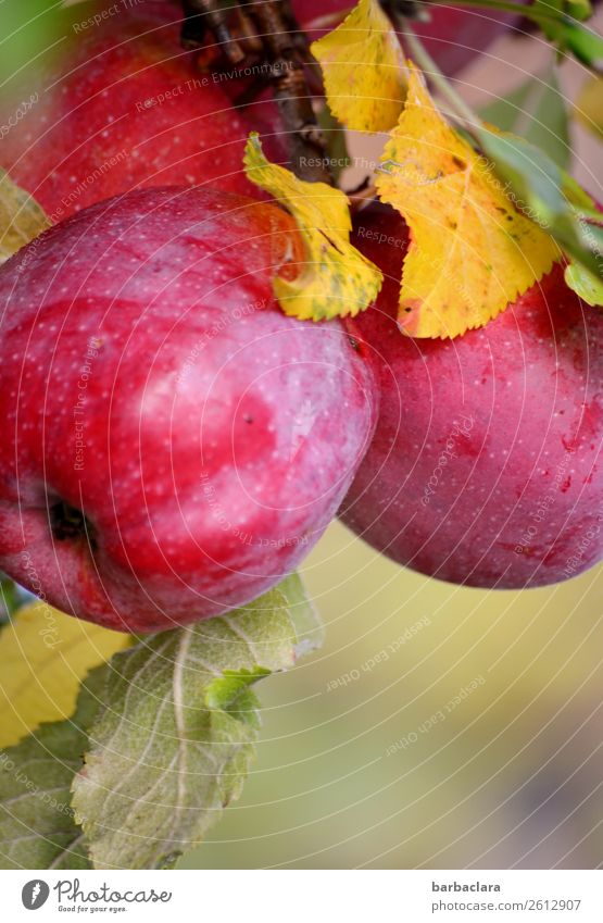 Rotbackige Elstar Äpfel am Baum Frucht Apfel Natur Pflanze Herbst Klima Blatt Apfelbaum Garten hängen leuchten fest frisch Gesundheit glänzend lecker rot Farbe