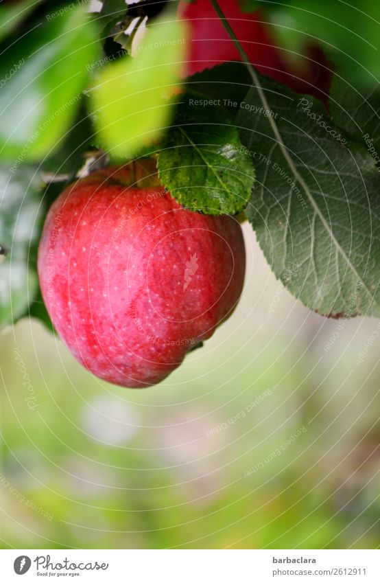 Trash 2018 | Äpfel, inzwischen eingelagert Frucht Apfel Natur Pflanze Herbst Baum Blatt Apfelbaum hängen frisch grün rot Gesundheit Klima Umwelt Farbfoto