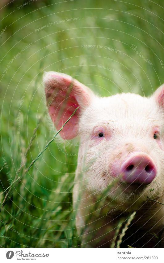 Piggy Natur grün Tier Tierjunges rosa Abenteuer Nase stehen Idylle entdecken Schwein Nutztier ländlich Neuseeland Sau Ferkel
