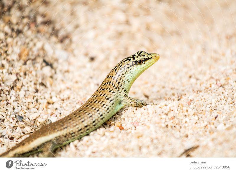 sandfarben Ferien & Urlaub & Reisen Tourismus Ausflug Abenteuer Ferne Freiheit Strand Meer Wildtier Tiergesicht Gecko Echte Eidechsen Auge Reptil 1 beobachten