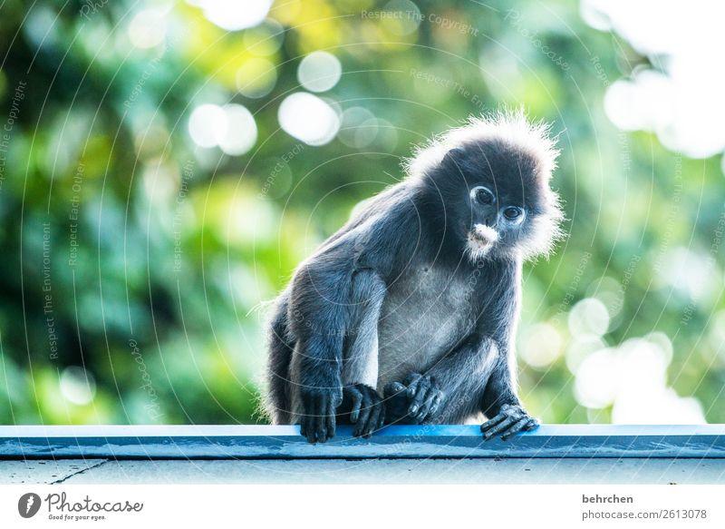 montagmorgengleichgewicht Ferien & Urlaub & Reisen Tourismus Ausflug Abenteuer Ferne Freiheit Urwald Wildtier Tiergesicht Fell Affen brillenlanguren 1