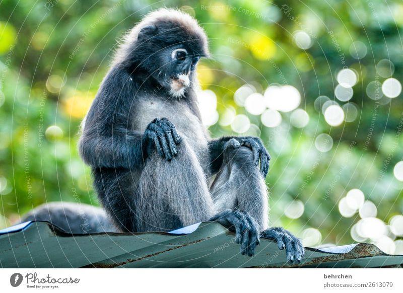immer schön locker bleiben! Ferien & Urlaub & Reisen Tourismus Ausflug Abenteuer Ferne Freiheit Natur Urwald Wildtier Tiergesicht Fell Affen brillenlanguren 1