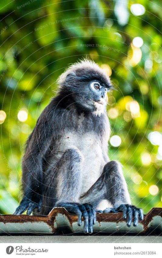 die katze, ähhh, der affe auf dem blechdach Ferien & Urlaub & Reisen Tier Ferne Tourismus außergewöhnlich Freiheit Ausflug nachdenklich Wildtier sitzen