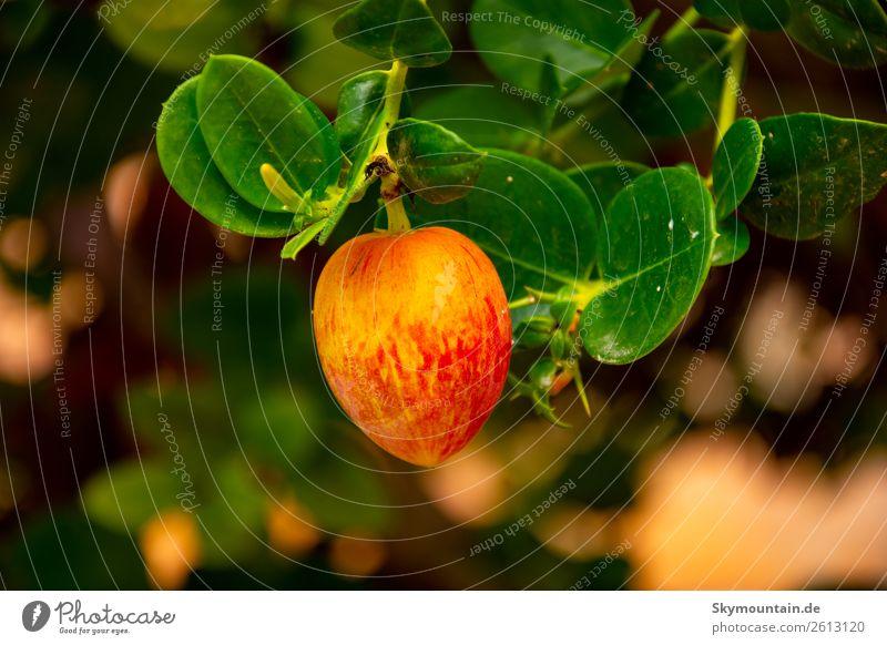 Natalpflaume (Carissa macrocarpa) Exotische Pflanzen Natur Erholung Tier Essen Umwelt Garten Park exotisch Nutzpflanze