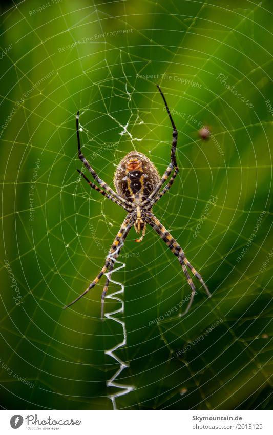 Zebraspinne im Zick und Zack des Lebens Natur Pflanze grün Tier Freude schwarz gelb Umwelt Gefühle Glück braun Stimmung Zufriedenheit Angst Wildtier