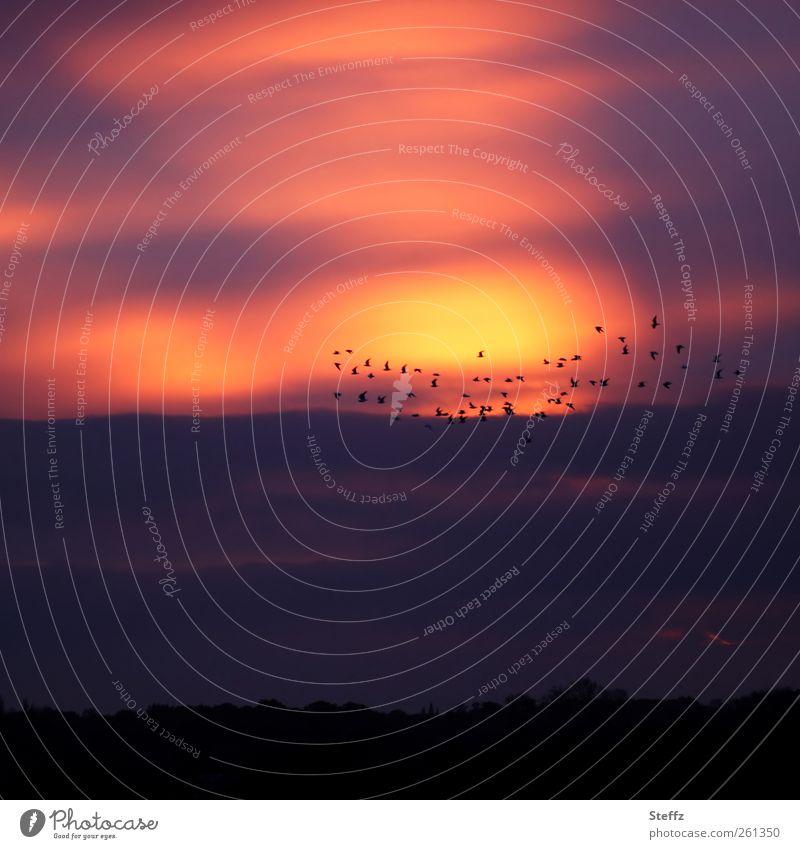 Abend in Essex Himmel Natur rot ruhig Ferne gelb Landschaft Herbst Freiheit Stimmung Vogel Wetter fliegen viele geheimnisvoll Abenddämmerung