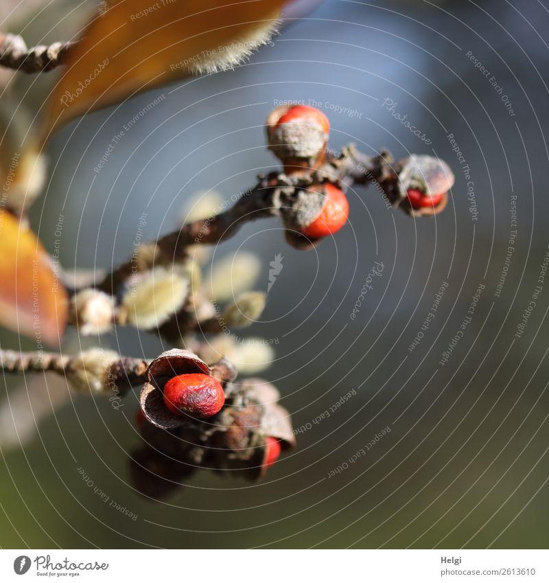 Knospen, Blätter und Früchte gleichzeitig an Zweigen der Sternmagnolie Umwelt Natur Pflanze Herbst Schönes Wetter Sträucher Blatt Stern-Magnolie Blütenknospen