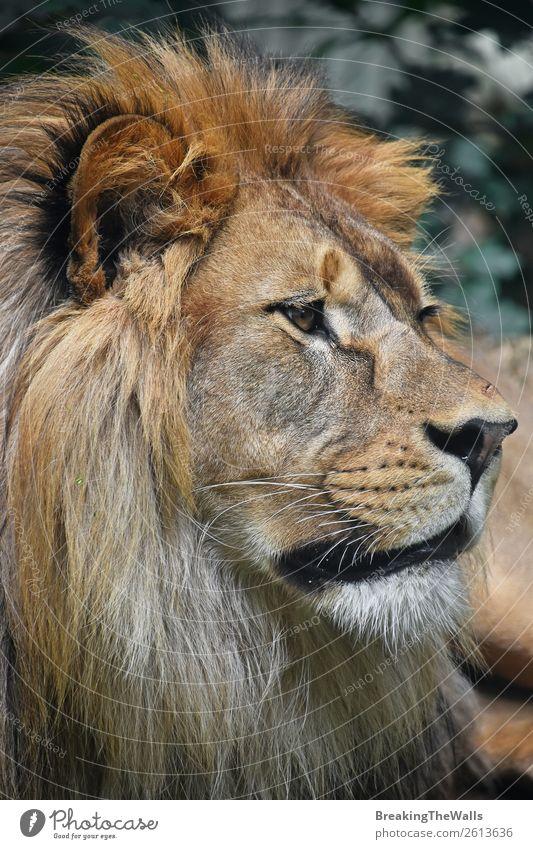 Nahaufnahme des Porträts eines männlichen afrikanischen Löwen Natur Tier Wildtier Tiergesicht Zoo 1 wild Profil Löwenmähne Schnauze Kopf niedlich Auge