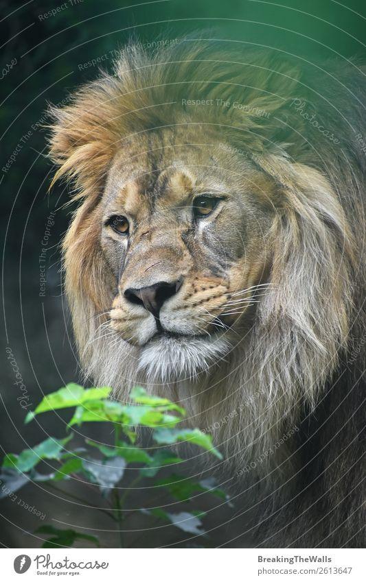 Nahaufnahme des männlichen afrikanischen Löwen Natur Pflanze Tier Wildtier Tiergesicht Zoo 1 Neugier wild grün Löwenmähne Schnauze Kopf Auge selbstbewußt