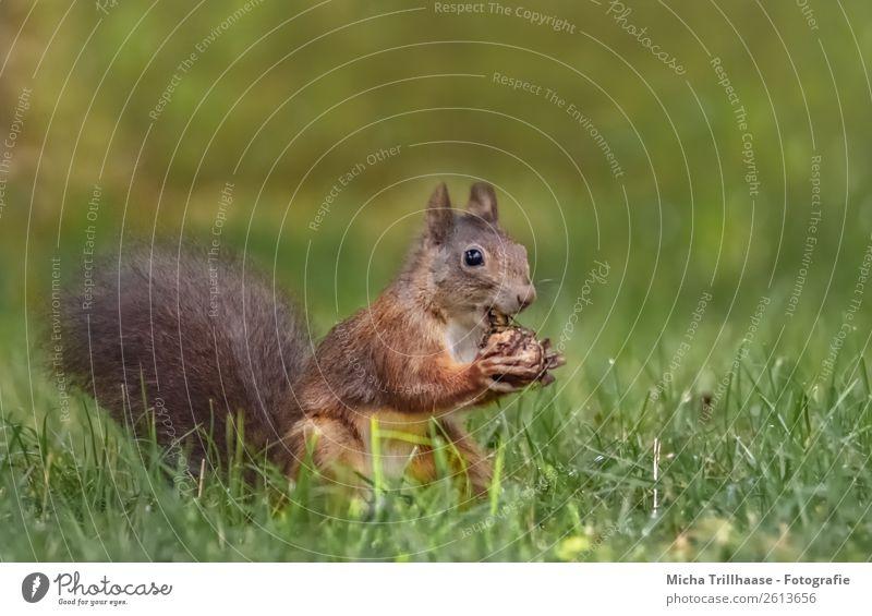 Fressendes Eichhörnchen auf der Wiese Frucht Walnuss Natur Tier Sonnenlicht Schönes Wetter Gras Wildtier Tiergesicht Fell Krallen Pfote Nagetiere 1 Essen