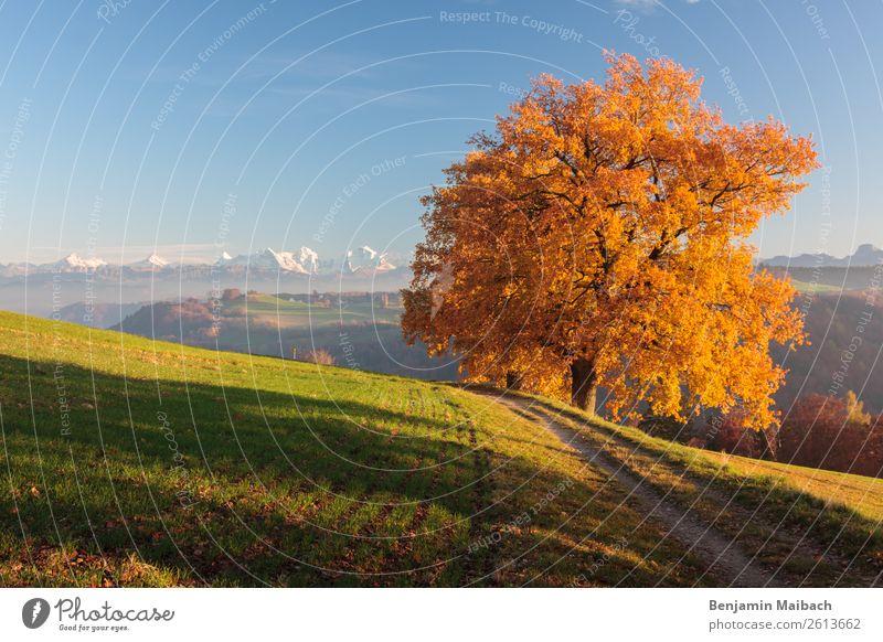 Goldener Herbstbaum mit Alpen Natur Landschaft Pflanze Klima Wetter Schönes Wetter Baum Feld Berge u. Gebirge Wege & Pfade blau gelb gold grün Energie Freiheit