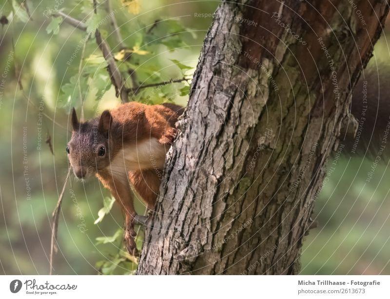 Neugieriges Eichhörnchen im Baum Natur Tier Sonnenlicht Schönes Wetter Blatt Wald Wildtier Tiergesicht Fell Krallen Pfote Nagetiere 1 beobachten hängen Blick