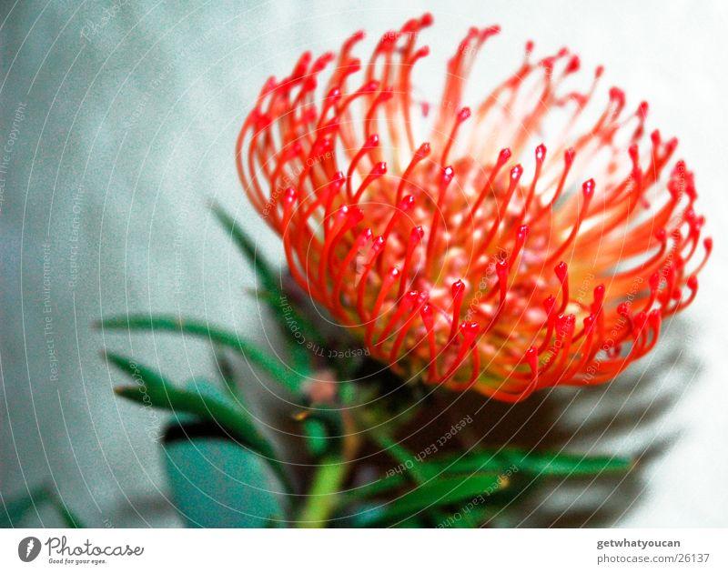 Tentakeltulpe Blume grell rot Blatt grün Wand Unschärfe Blüte Stengel Pflanze außergewöhnlich fremd exotisch hell anonym leuchten
