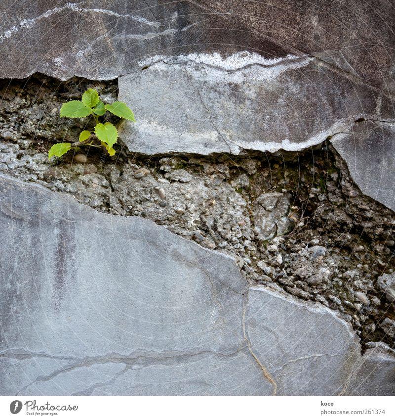Unter den Pflastern ... Natur grün schön Pflanze Sommer Blatt schwarz Einsamkeit Straße Umwelt Wand grau Wege & Pfade klein Stein Mauer